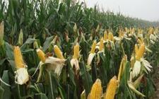 第三届国家农作物品种审定结果出176个玉面品种通过初审