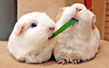 兔子得了球虫病怎么办 兔子球虫病的治疗方法