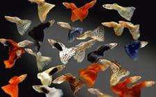 孔雀鱼针尾怎么办 小孔雀鱼针尾的治疗方法