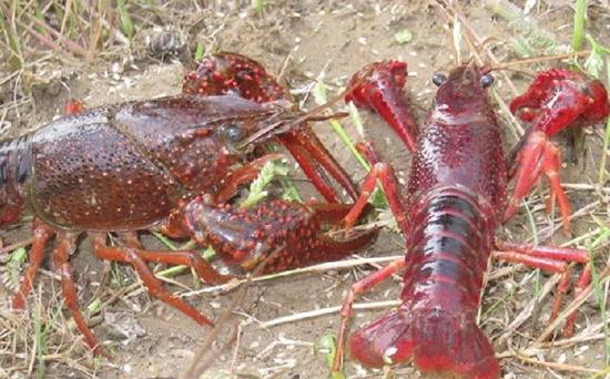 龙虾繁殖 龙虾的繁殖技术