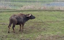 耕牛养殖 耕牛的养殖技术