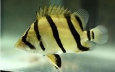 印尼虎鱼怎么养 印尼虎鱼的饲养技术