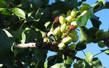 开心果树病虫害有哪些?开心果树主要病虫害的危害特征和防治方法