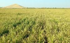 稻作机械化和育种创新是水稻产业转型升级的关键