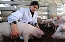 喂食鸡蛋解决的8种猪病