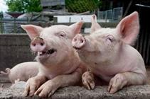 仔猪脐带炎怎么治疗?