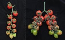 科学家研究出转基因番茄 可实现产量翻倍