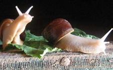 蜗牛养殖 蜗牛常见的疾病以及治疗方式