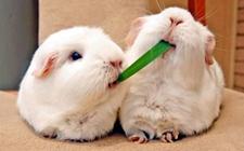 <b>獭兔怎么养 獭兔的养殖技术</b>