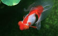 养殖知识:金鱼的寿命有多长