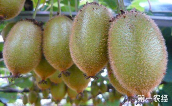 """猕猴桃种植如何实现高产?夏季猕猴桃高产当做好这""""四防"""""""