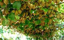 猕猴桃种植如何实现高产?夏季猕猴桃高产当做
