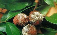 荔枝病虫害有哪些?荔枝主要病虫害的防治方法