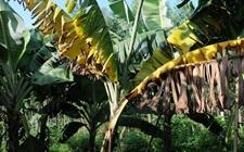 香蕉枯萎该怎么防治?香蕉枯萎病的发生症状和防治方法
