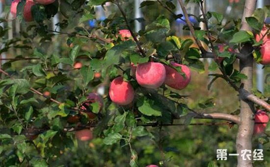 苹果树种植 苹果树种植的花果管理技术