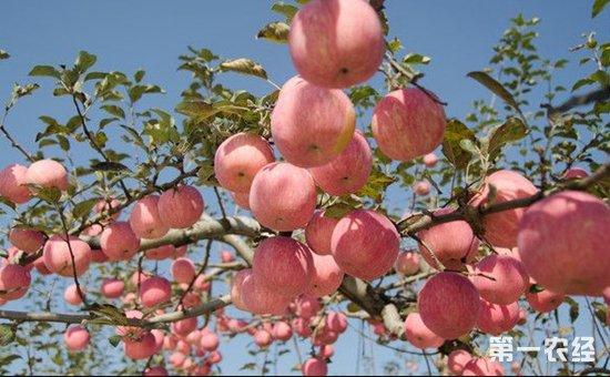 苹果树种植:苹果树种植的花果管理技术