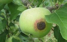 苹果树病虫害有哪些?苹果树常见病虫害的危害特征和防治方法