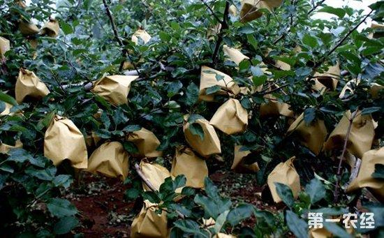 苹果树种植 苹果树种植的套袋技术