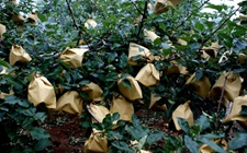 苹果树种植:苹果树种植的套袋技术