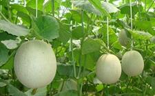 甜瓜种植:甜瓜的大棚种植技术