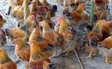 育成期蛋鸡科学饲养的五个技术要点