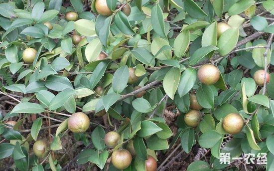 茶树什么时候开花结籽?茶树开花时间与结果时间