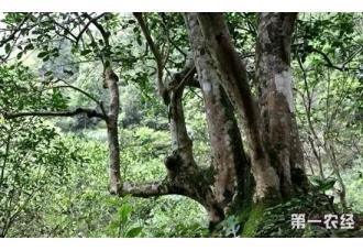 如何检测古茶树的树龄?古茶树的树龄检测方法