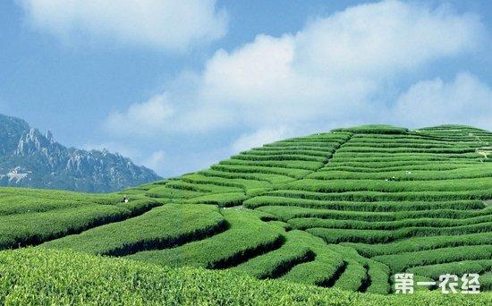 福鼎白茶是什么茶?福鼎白茶产地介绍