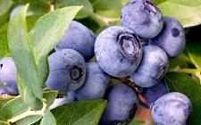 <b>蓝莓多少钱一斤?蓝莓一盒多少钱?</b>