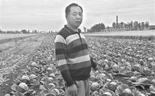 南阳菜农种植包菜丰产却不丰收 12万斤包菜滞销田头