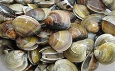蛤蜊水霉病怎么办 蛤蜊水霉病的防治方法