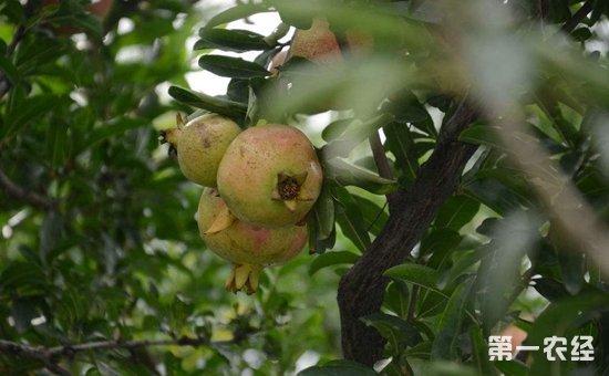 石榴树种植:石榴树种植的繁殖技术