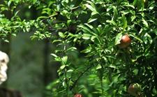 石榴有什么功效作用?石榴树的种植技术
