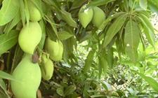芒果树种植:芒果树种植的果园管理技术