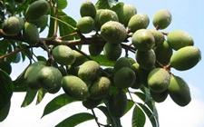 橄榄有什么功效作用?橄榄树的种植技术