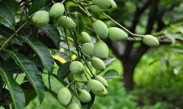 橄榄树种植:橄榄树种植的繁殖技术