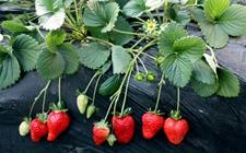 草莓有什么功效作用?草莓的种植技术