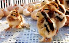 <b>雏鸡应该如何饲养?雏鸡的科学饲养管理技术是什么?</b>