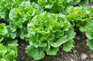 【生菜专题】生菜的种植方法|生菜病虫害防治