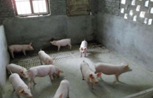 猪舍用水泥地面有什么坏处