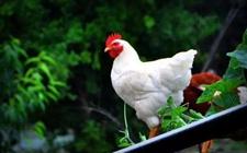 2017年5月25日最新鸡蛋价格行情 淘汰鸡价格行情 白羽肉毛鸡价格行情