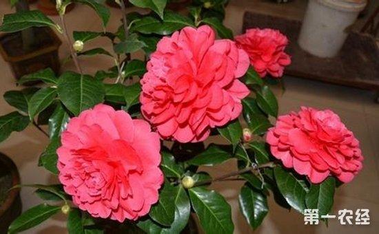 图:茶花-养花技巧 这7种盆栽植物夏季必须遮阴