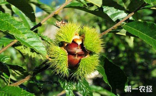 板栗树产量_板栗该怎么种?板栗树的种植技术 - 种植技术 - 第一农经网
