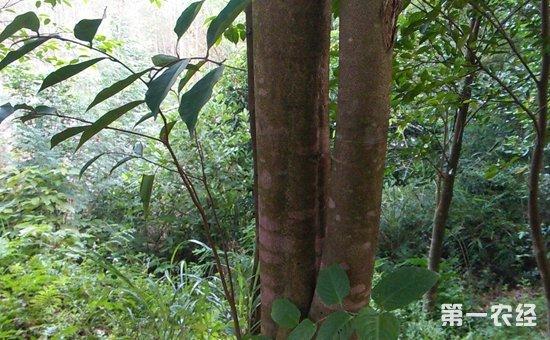 沉香树的种植技术