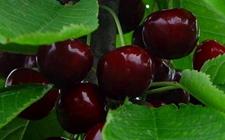 樱桃种植:黑珍珠樱桃的种植技术