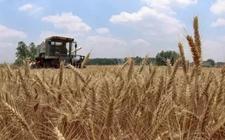 全国各地陆续展开小麦开镰收割工作 小麦开秤价格将高于去年