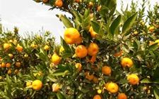 广西:智能科技助力柑橘产业发展