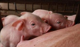 生猪、仔猪价格下跌50多天 生猪均价不足7元一斤