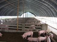 什么是种养结合塑料大棚养猪技术?