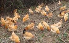 <b>范淑英:创办养殖合作社受益5000余人   农家土鸡助丰都农户脱贫致富</b>